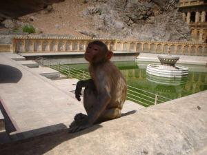 A majmok szent állatoknak számítanak hosszú generációk óta