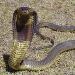 A jó kígyó?