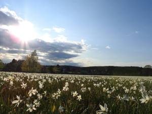Nárciszmező Nyúládban - Oroszhegy község (Bálint Elemér Imre felvételei)